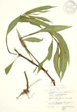 (Polygonum lapathifolium - RBG 111)  @11 [ ] Copyright (2009) Steven Newmaster University of Guelph BIO Herbarium