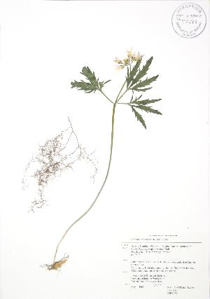 (Cardamine concatenata - RBG 021)  @11 [ ] Copyright (2009) Steven Newmaster University of Guelph BIO Herbarium