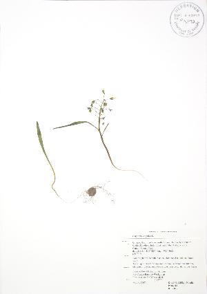 (Claytonia virginica - RBG 022)  @11 [ ] Copyright (2009) Unspecified University of Guelph BIO Herbarium