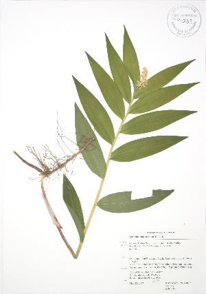 ( - RBG 035)  @11 [ ] Copyright (2009) Unspecified University of Guelph BIO Herbarium