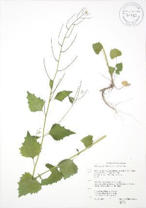 ( - RBG 038)  @11 [ ] Copyright (2009) Steven Newmaster University of Guelph BIO Herbarium