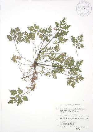 (Geranium robertianum - RBG 040)  @11 [ ] Copyright (2009) Steven Newmaster University of Guelph BIO Herbarium