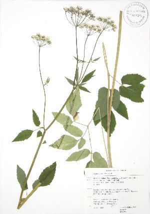 (Aegopodium - RBG 067)  @11 [ ] Copyright (2009) Steven Newmaster University of Guelph BIO Herbarium