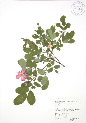 (Rosa blanda - RBG 070)  @11 [ ] Copyright (2009) Unspecified University of Guelph BIO Herbarium