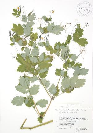 (Chelidonium - RBG 098)  @11 [ ] Copyright (2009) Steven Newmaster University of Guelph BIO Herbarium