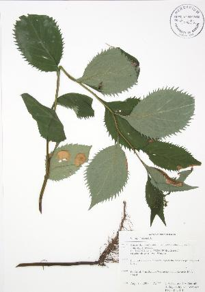 ( - RBG-Blitz 014)  @11 [ ] Copyright (2009) Steven Newmaster University of Guelph BIO Herbarium