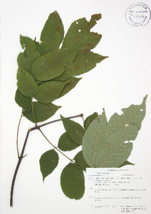 (Fraxinus americana - RBG-Blitz 012)  @11 [ ] Copyright (2009) Unspecified University of Guelph BIO Herbarium