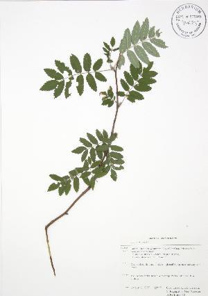 ( - RBG-Blitz 018)  @11 [ ] Copyright (2009) Steven Newmaster University of Guelph BIO Herbarium