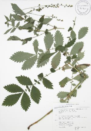 (Agrimonia gryposepala - RBG 153)  @11 [ ] Copyright (2009) Unspecified University of Guelph BIO Herbarium