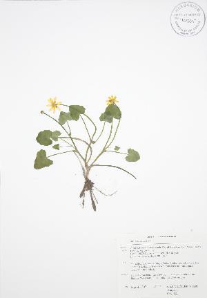 (Ficaria - RBG 025)  @11 [ ] Copyright (2009) Steven Newmaster University of Guelph BIO Herbarium