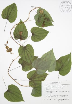 (Dioscorea quaternata - RBG 113)  @11 [ ] Copyright (2009) Steven Newmaster University of Guelph BIO Herbarium