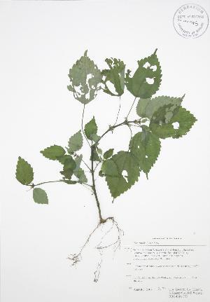 (Pilea - RBG-Blitz 052)  @11 [ ] Copyright (2009) Unspecified University of Guelph BIO Herbarium