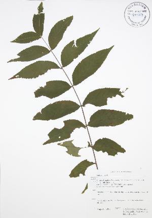 (Juglans nigra - RBG-Blitz 013)  @11 [ ] Copyright (2009) Steven Newmaster University of Guelph BIO Herbarium