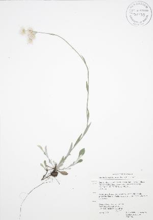 (Antennaria neglecta petaloidea - RBG 058)  @13 [ ] Copyright (2009) Steven Newmaster University of Guelph BIO Herbarium