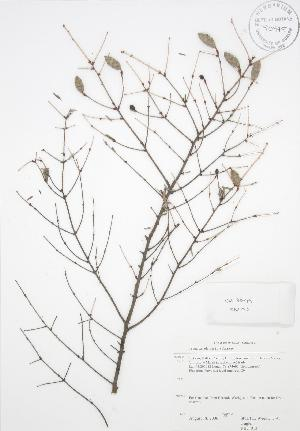 ( - RBG 013)  @11 [ ] Copyright (2009) Steven Newmaster University of Guelph BIO Herbarium