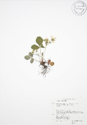 ( - RBG 036)  @11 [ ] Copyright (2009) Steven Newmaster University of Guelph BIO Herbarium