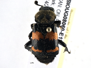 (Nicrophorus tomentosus - BIOUG08060-E12)  @15 [ ] CreativeCommons - Attribution Non-Commercial Share-Alike (2014) BIO Photography Group Biodiversity Institute of Ontario