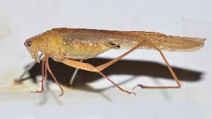 (Phaneroptera sp. 2 - 201506-4D)  @13 [ ] CreativeCommons - Attribution Share-Alike (2010) Zhi-Jun Zhou Centre for Biodiversity Genomics