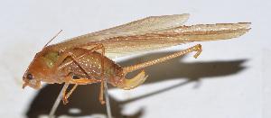(Phaneroptera sp. 2 - 201506-5B)  @13 [ ] CreativeCommons - Attribution Share-Alike (2010) Zhi-Jun Zhou Centre for Biodiversity Genomics