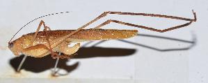 (Phaneroptera nigroantennata - 201506-5E)  @13 [ ] CreativeCommons - Attribution Share-Alike (2010) Zhi-Jun Zhou Centre for Biodiversity Genomics