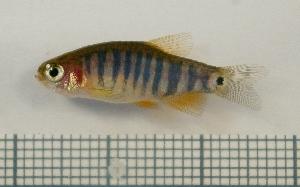 (Danio erythromicron - RC0599)  @13 [ ] CreativeCommons - Attribution No Derivatives (2011) Rupert A. Collins Bio-Protection Research Centre, PO Box 84, Lincoln University 7647, Canterbury, New Zealand.