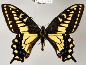 (Papilio zelicaon - CSG21539 C BC)  @16 [ ] Unspecified (default): All Rights Reserved  Unspecified Unspecified