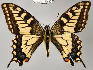 (Papilio machaon - CSG21550 NE BC)  @15 [ ] Unspecified (default): All Rights Reserved  Unspecified Unspecified