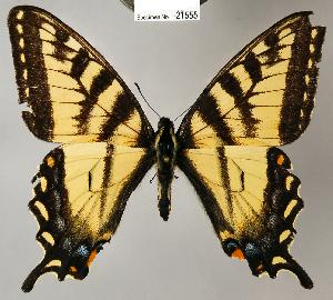 (Papilio canadensis - CSG21555 NE BC)  @16 [ ] Unspecified (default): All Rights Reserved  Unspecified Unspecified