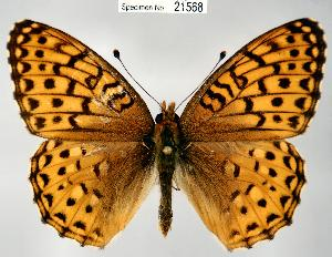 (Speyeria hesperis - CSG21568 NE BC)  @15 [ ] Unspecified (default): All Rights Reserved  Unspecified Unspecified