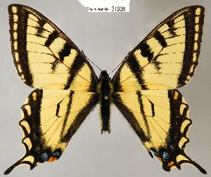 (Papilio canadensis - CSG21608 NE BC)  @16 [ ] Unspecified (default): All Rights Reserved  Unspecified Unspecified
