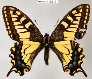 (Papilio zelicaon - CSG21613 NE BC)  @16 [ ] Unspecified (default): All Rights Reserved  Unspecified Unspecified
