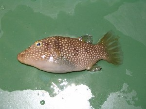 (Canthigaster punctatissima - JHLOW00092)  @14 [ ] Unspecified (default): All Rights Reserved  Unspecified Unspecified