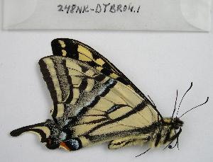 (Papilio rutulus - 248NK-DTBR04.1)  @13 [ ] Unspecified (default): All Rights Reserved  Unspecified Unspecified