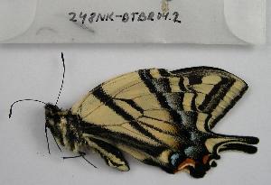 (Papilio rutulus - 248NK-DTBR04.2)  @13 [ ] Unspecified (default): All Rights Reserved  Unspecified Unspecified
