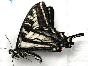 (Papilio eurymedon - 603NK-2128.1)  @14 [ ] Unspecified (default): All Rights Reserved  Unspecified Unspecified