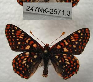 (Euphydryas anicia - 247NK-2571.3)  @15 [ ] Unspecified (default): All Rights Reserved  Unspecified Unspecified