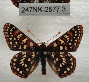 (Euphydryas chalcedona - 247NK-2577.3)  @15 [ ] Unspecified (default): All Rights Reserved  Unspecified Unspecified