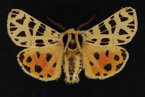 (Grammia - CNCNoctuoidea13652)  @15 [ ] Unspecified (default): All Rights Reserved  Unspecified Unspecified