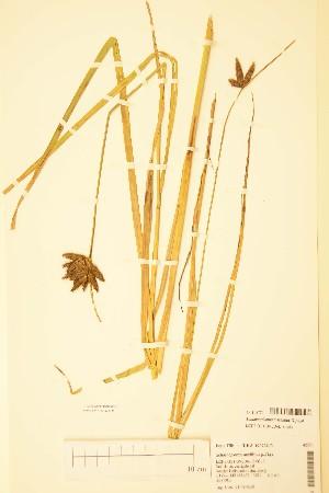(Bolboschoenus - TRH42771)  @11 [ ] by-nc-sa - Creative Commons - Attribution Non-Comm Share-Alike (2015) NTNU University Museum, Department of Natural History NTNU University Museum, Department of Natural History