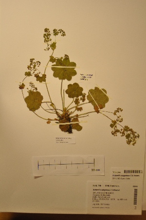 (Alchemilla subglobosa - TRH48444)  @11 [ ] CreativeCommons - Attribution Non-Commercial Share-Alike (2012) NTNU Museum of Natural History and Archaeology NTNU Museum of Natural History and Archaeology