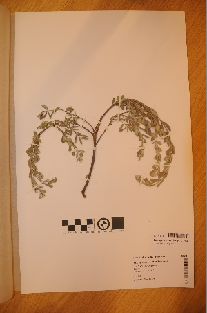 (Salix - TRH-V-26689)  @11 [ ] Copyright (2014) NTNU University Museum, Department of Natural History NTNU University Museum, Department of Natural History