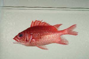( - MNHN_PE373)  @11 [ ] CreativeCommons - Attribution Non-Commercial Share-Alike (2014) Michel Kulbicki IRD