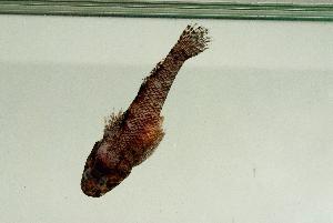 (Bathygobius sp. New Caledonia - MNHN_PE511)  @11 [ ] by-nc-sa - Creative Commons - Attribution Non-Comm Share-Alike (2014) Michel Kulbicki IRD