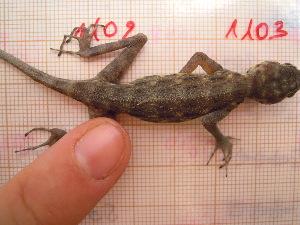 (Pristurus - CN1103)  @14 [ ] by-nc-nd (2015) Raquel Vasconcelos IBE, Institute of Evolutionary Biology (CSIC-UPF)