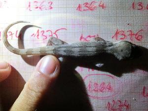 (Hemidactylus - CN1376)  @11 [ ] by-nc-nd (2015) Raquel Vasconcelos IBE, Institute of Evolutionary Biology (CSIC-UPF)