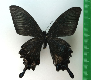 (Papilio bianor - g734)  @12 [ ] copyright (2015) Vlasova Alisa Institute of Ecological Problems of the North