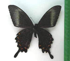 (Papilio bianor - g734)  @13 [ ] Copyright (2015) Vlasova Alisa Institute of Ecological Problems of the North
