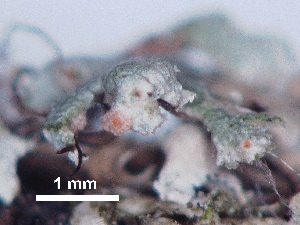 (Hypocreales - BIOUG24047-C08)  @11 [ ] CreativeCommons - Attribution Non-Commercial Share-Alike (2015) Biodiveristy Institute of Ontario Biodiveristy Institute of Ontario