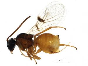 (Diastrophus - BIOUG24011-E05)  @14 [ ] CreativeCommons - Attribution Non-Commercial Share-Alike (2015) BIO Photography Group Biodiversity Institute of Ontario