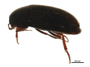 (Tetratomidae - BIOUG22289-B10)  @14 [ ] CreativeCommons - Attribution Non-Commercial Share-Alike (2015) BIO Photography Group Biodiversity Institute of Ontario